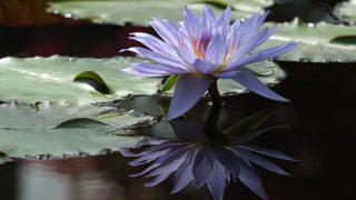 なぜハスの花かって?インドの国花なのですよ。